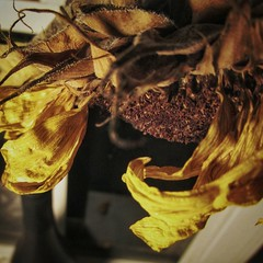 Death of Sunflower (postovalovaroslav) Tags: flower florida sun sunshine yellow summer hot death dead evil energy photography photo goodphoto