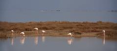 La vie en rose (2) (JLM62380) Tags: pink flamingos flamant rose camargue france eau oiseau nature migration