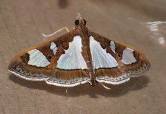 Window wing moth Glyphodes sp aff bivitralis Pyraustinae Crambidae Airlie Beach rainforest P1010868 (Steve & Alison1) Tags: window wing moth glyphodes sp aff bivitralis pyraustinae crambidae airlie beach rainforest