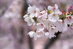 Vancouver 温哥華 (syue2k) Tags: british columbia 不列顛哥倫比亞省 vancouver 温哥華 canada cherry blossom season 樱花季節 sakura