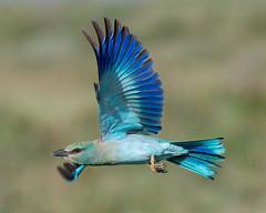 European Roller (Coracias garrulus)  in flight. (Mark Vukovich) Tags: european roller coracias garrulus bird flight ndutu tanzania africa blue green