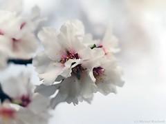 So schön kann Mandelblüte sein... Almond blossom can be so beautiful ... (Mike Reichardt) Tags: dwwg almondblossom almondtree mandelblüte mandeln blume blüte blossom nahaufnahme natur nature nah closeup colors white macro makro flower flowerpower weinstrasse pfälzerweinstrasse