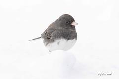IMG_4353 little dark eyed junco (starc283) Tags: dark eyed junco nature bird birding wildlife canon starc283 outdoor animal darkeyedjunco flicker flickr