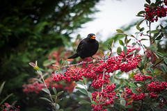 il merlo maschio... (Angelo Petrozza) Tags: merlo blackbird bird uccello nero black pyracanta siepe piracanta saphyr angelopetrozza 55300f458 birdwatching