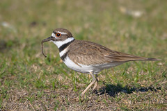Killdeer (Kevin James54) Tags: carolinabeach carolinabeachlake charadriusvociferus killdeer nikond850 tamron150600mm wilmington animals avian bird kevingianniniphotocom