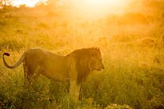 The King Surveys at Sunrise.jpg (Darren Berg) Tags: dcbshot lion kenya africa male majestic lake nakuru national park sun sunrise light leak flare grass grassland yellow king sony a7r3 a7riii