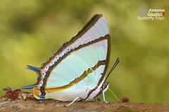 The Stately Nawab - เหลืองหนามใหญ่ (Antonio Giudici Butterfly Trips) Tags: thestatelynawab เหลืองหนามใหญ่ nymphalidae charaxinae charaxesdolongrandis doiphahompok fang chiangmai thailand