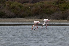 IMG_1204 Flamingos, Mallorca (Fernando Sa Rapita) Tags: baleares canon canoneos coloniadesanjordi eos200d essalobrar parquenatural sessalines sessalinesdeestrenc tamron tamron150600 animal ave bird flamenco flamencocomun flamingo greaterflamingo pajaro phoenicopterusroseus