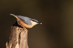 European Nuthatch (Sitta europaea) (Wildlife Photography by Matt Latham) Tags: 7dmarkii canon lincolnshire mattlatham nocton nuthatch photography sittaeuropaea unitedkingdom bird birdphotography nature naturephotography wildlife wildlifephotography woodland
