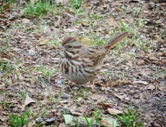 Song Sparrow in winter (Goggla) Tags: songsparrow nyc new york city marble cemetery east village urban wildlife bird song sparrow