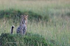 4J7A4687 Léopard (Puce55-Elisabeth,) Tags: léopard masai mara kenya animal félin nature wildlife