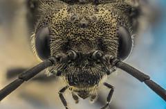 Wasp (cecliii) Tags: ceclii macro extrememacro insect wasp nikon nikond3400 semiplan zeisssemiplan63x