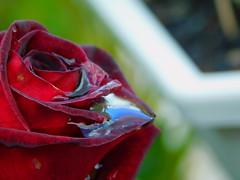 Mirroring the sky (cami.carvalho) Tags: flower rose drops reflections water flor rosa rain chuva céu sky gotas água