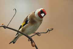 I've got my eye on you-7D2_2874-001 (cherrytree54) Tags: goldfinch canon sigma 7d 150600