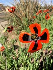 My neighborhood in Albuquerque with iPhone: amapolas.  New Mexico, USA. (cbrozek21) Tags: poppy mak amapola flower red