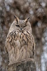 Müder Uhu (THW-Berlin) Tags: eulen birds owls vögel tiere animals nature uhu federn sony alpha6500
