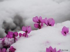Cyclamen in the snow (mark.griffin52) Tags: olympusem5 england buckinghamshire cheddington cyclamencoum cyclamen snow garden flowers