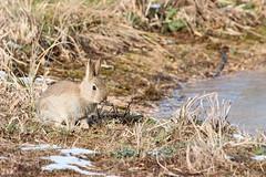 Baby Bunny - Sandy (Airwolfhound) Tags: sandy rspb wildlife bunny rabbit