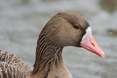 Белолобый гусь, Anser albifrons albifrons, Greater White-fronted Goose (Oleg Nomad) Tags: белолобыйгусь anseralbifronsalbifrons greaterwhitefrontedgoose птицы фотоохота москва bird aves moscow
