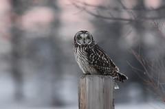 (Prairie_Wolf) Tags: shortearedowl rachelmackayphotography birding owl