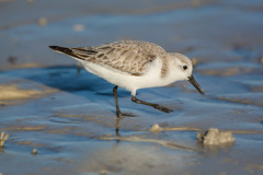 Small fry (ChicagoBob46) Tags: sanderling bird bunchebeach florida fortmyers nature wildlife naturethroughthelens ngc coth5 npc