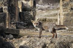 El zorro de Medina Azahara / The Medina Azahara Fox (E · Doughty) Tags: medina azahara fox zorro ruinas medinaazahara