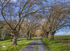 Natural Arches (allentimothy1947) Tags: blankroad california sonomacounty arch bare blue clouds cover driveway grass sky trees 7736 blank road sonoma county sebastopol gravel trunk bark branches winter spring field white green