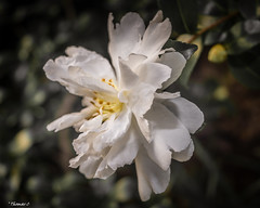 White In Detail (that_damn_duck) Tags: nikon nature flower plant petals blossom blooming