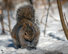 SolidGrip (jmishefske) Tags: seeds eating grant nikon southmilwaukee squirrel wisconsin birdfeeders february d500 2019 county park