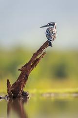 Pied kingfisher / Bonte ijsvogel (Wim Hoek) Tags: zimangalagoonhide birds bonteijsvogel zimangagamereserve ijsvogels afrika africa alcedinidae cerylerudis piedkingfisher vogels uphongolonu kwazulunatal southafrica za