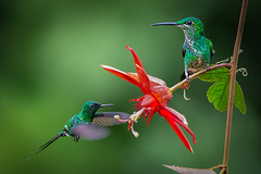 Green-crowned Brilliant and  Green Thorntail (Eric Gofreed) Tags: costarica greenthorntail greencrownedbrilliant hummingbird