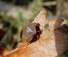 Shieldbugs & Allie! (rockwolf) Tags: palomenaprasina greenshieldbug pentatomidae punaise insect hemiptera heteroptera haughmondhill uptonmagna shropshire rockwolf