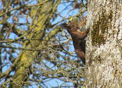 Coucou (Kermitfrog ;-)) Tags: écureuil squirrel arbre canal dole jura bourgognefranchecomté 39 canaldurhôneaurhin