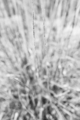 Twin Signals (belleshaw) Tags: blackandwhite oakglen nature deergrass meadow plant seeds blooms tall blades garden detail texture abstract