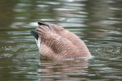 Friendship Pond Canada Goose diving 3 NBG (Puddin Tain) Tags: norfolkbotanicalgarden norfolkvirginia brantacanadensis canadagoose pond bird animal divinggoose goosediving