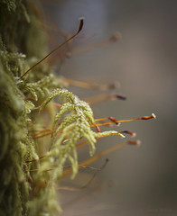 It's a Great Big Small World (shawn~white) Tags: 50mm canon6d ceredigion hafodestate macro uk westwales bokeh closeup enchanting forest glowing gold green moss orange peaceful red sporophytes tree wood woodland ©shawnwhite
