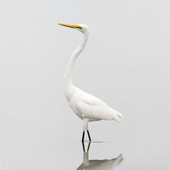 Great Egret (steve whiteley) Tags: bird birdphotography wildlife wildlifephotography nature egrettaalba wader highkey white greategret thegambia