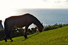 Dinner with a view (giuliaph.) Tags: horse cavallo animal animals animale nature natura rhossili rhossilibay rhossilibeach wales southwales galles uk unitedkingdom inghilterra swansea cute sea mare grass dinner erba sunset beach hill eating eat mangiare mangia cena