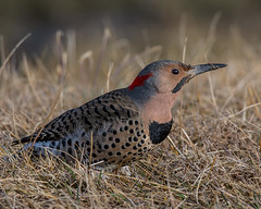 Flickr Flicker in the grass (Fred Roe) Tags: nikond7100 nikonafsnikkor200500mm156eed nature naturephotography national wildlife wildlifephotography animals birds birding birdwatching birdwatcher woodpecker flicker northernflicker colaptesauratus colors flickr outside peacevalleypark