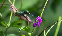 Mexican violetear in flight (Xuberant Noodle) Tags: action america animal beautiful bird central colibri color colorful colour colourful costa ear eat eating feed feeding flight flower fly flying forest frozen humming hummingbird inflight jungle latin life mexican nature osa outdoor outdoors outside peninsula pretty rain rainforest rica thalassinus tropical tropics vibrant violet violetear wild wildlife wing