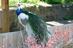 Washington Park Zoo (Tiger_Jack) Tags: washingtonparkzoo zoo zoos zoosofnorthamerica indiana animals animal bird birds peacocks peacock nikon nikoncoolpix nikoncoolpixb500