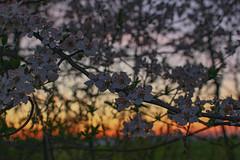 Flower (Péter Vida) Tags: scenery panorama natural wesen springtime vorfrühling sunset sonnenuntertag flower blume vegetable pflanze tájkép természet tavasz naplemente virág növény photo photography canon eos100d