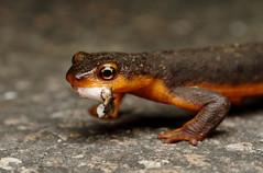 (Tony P Iwane) Tags: taricha newt newts herping fieldherping eastbay contracostacounty macro macrophotography salamander caudata amphibian amphibians finedining sibleyvolcanicregionalpreserve ebrpd ebrpdok