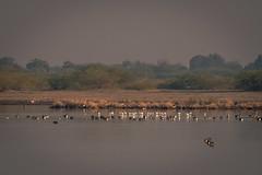 Avocets and Ducks (iamfisheye) Tags: 300mm naturetrek d500 xqd february vr f4 avocets india tc14iii indianwildasssanctuary nikon afs littlerannofkutch 2019 ducks pf gujarat raremammalsandbirdsofgujarat