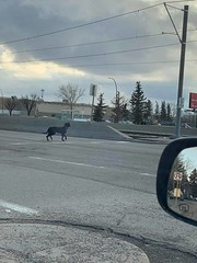 SIGHTING black dog w/white belly in #whitehorn Call 311 if seen DO NOT CHASE Pls rt watch share help! YYC Pet Recovery shared a post. Whitehorn and 36 street ne wandering on the roads black large dog with white under belly 2019-03-28T00:23:11.000Z by YYC (yycpetrecovery) Tags: ifttt march 28 2019 0111am