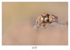 L'élu (the world of collembola) Tags: 6d aelurillusvinsignitus araignéesauteuse canon canoneos6d eos6d mpe65 salticidae sitelacdusalagou suntiky arachnide araignée saltiquesauteuse sauteuse