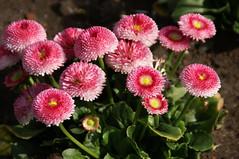 Gänseblümchen, Kultur- /  English daisy (bellis monstrosa) (HEN-Magonza) Tags: botanischergartenmainz mainzbotanicalgardens rheinlandpfalz rhinelandpalatinate deutschland germany frühling spring flora