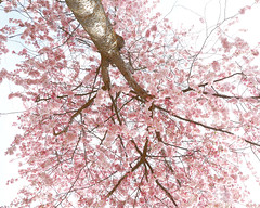 _T6A5698REWS Elevating, © Jon Perry, 18-3-19 zbp [In Explore #61, 22nd March 2019] (Jon Perry - Enlightenshade) Tags: jonperry enlightenshade arranginglightcom 18319 20190318 blossom blossoms cherry cherryblossoms actongreen w4