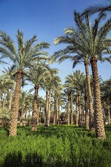 DAHSHUR/palm trees (inigolai) Tags: inexplore exploretheworld exploring dahshur palmtrees cerealharvest fields cairo egypt nature greenfields trees food exotic oasis travel traveler travelling tourism ecotourism green blue sky africa environment forest grass outdoor landscape scenic scenery image colors light daylight naturallandscape nikon harvest wheat arboles bosque