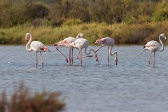 IMG_0843 Flamencos, Mallorca (Fernando Sa Rapita) Tags: baleares canon canoneos eos200d estrenc mallorca naturalpark parcnatural parquenatural sessalinas tamron tamron150600 ave bird flamenco flamingo pajaro teleobjetivo